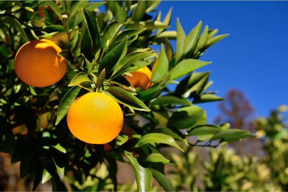 Bitter Orange Benefits, Uses & History