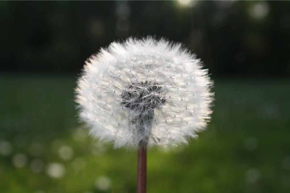 Dandelion Benefits, Uses & History