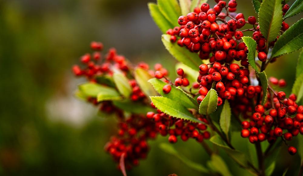 Hawthorn Benefits, Uses & History