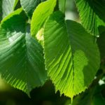 Slippery Elm: Benefits, Uses, and History