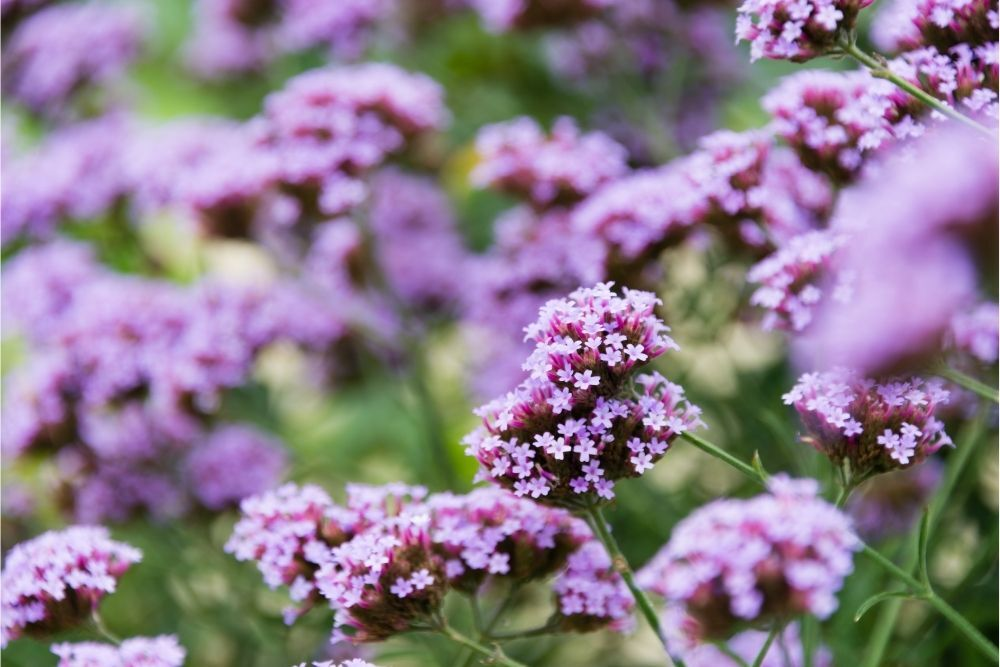 Vervain Benefits, Uses & History